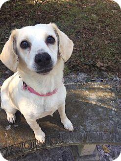 Beagle Mix Dog for adoption in Jacksonville, North Carolina - Rosie
