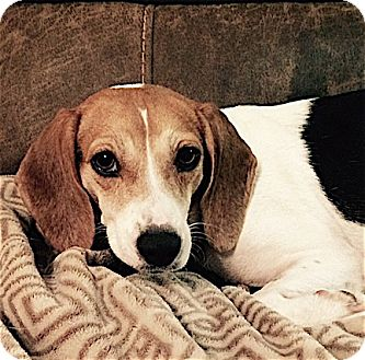 Beagle Dog for adoption in Houston, Texas - Mandy