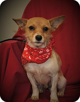 Jack Russell Terrier/Terrier (Unknown Type, Small) Mix Dog for adoption in Saratoga Springs, New York - BJ ~ DOB 11/2015!