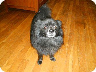 Pomeranian Dog for adoption in dewey, Arizona - Roscoe
