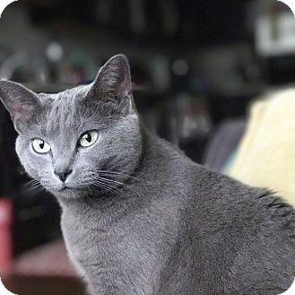 Domestic Shorthair Cat for adoption in Knoxville, Tennessee - Kiwi