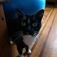 Domestic Shorthair Cat for adoption in Brooklyn, New York - Bunk
