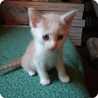Domestic Shorthair Kitten for adoption in Columbia, South Carolina - Ram