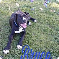 Adopt A Pet :: Bruce - Hesperia, CA