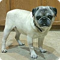 Adopt A Pet :: Schooner - Grapevine, TX