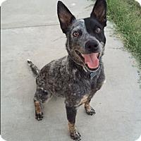 Adopt A Pet :: Dingo - Vacaville, CA