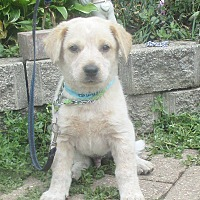 Retriever (Unknown Type) Mix Puppy for adoption in West Chicago, Illinois - Jerald