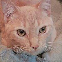 Adopt A Pet :: Ginger (Gidget's sister) - Maywood, IL