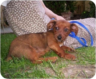 Dachshund/Terrier (Unknown Type, Small) Mix Puppy for adoption in Harbor City, California - Owen
