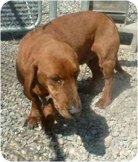 Redbone Coonhound/Basset Hound Mix Dog for adoption in Makinen, Minnesota - Yoda