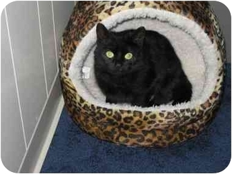 Domestic Shorthair Cat for adoption in levittown, New York - Sasha