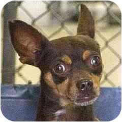 Chihuahua Dog for adoption in Berkeley, California - Mico