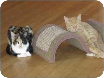 Domestic Shorthair Cat for adoption in Chicago, Illinois - Mimi & Mr. Coco