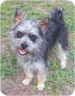 Schnauzer (Miniature)/Yorkie, Yorkshire Terrier Mix Dog for adoption in Mary Esther, Florida - Toby