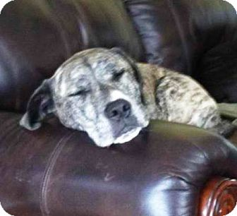 Neapolitan Mastiff Mix Dog for adoption in Kalamazoo, Michigan - Brent