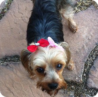 Yorkie, Yorkshire Terrier Mix Dog for adoption in Vidor, Texas - Zoie