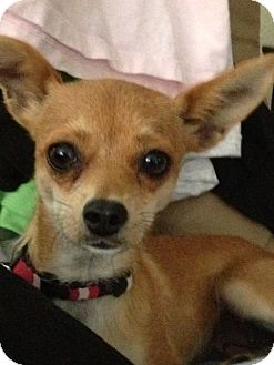 Chihuahua Dog for adoption in San Marcos, California - Tinkerbell