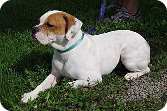 English Bulldog/Boxer Mix Dog for adoption in Elyria, Ohio - Jazzy