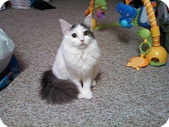 Domestic Mediumhair Cat for adoption in Flushing, Michigan - Squirrel