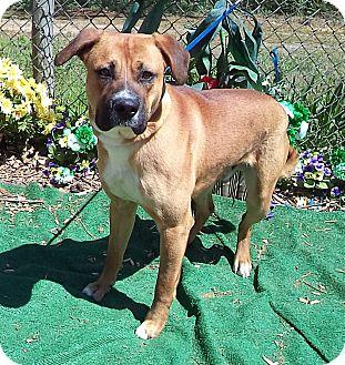 Boxer Mix Dog for adoption in Marietta, Georgia - TRUETT