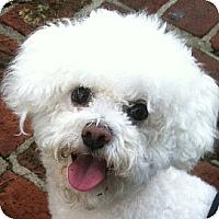 Adopt A Pet :: Sugar - La Costa, CA