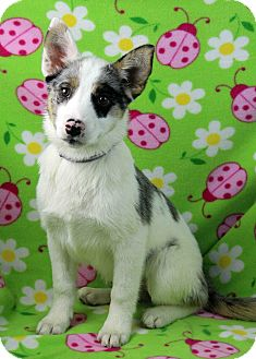 Australian Shepherd/Border Collie Mix Puppy for adoption in Westminster, Colorado - Batista