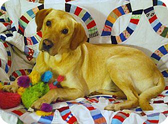 Labrador Retriever Mix Dog for adoption in Huntsville, Alabama - Sundance