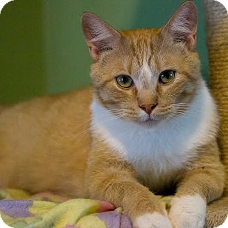 Domestic Mediumhair Cat for adoption in Columbia, Illinois - Tang