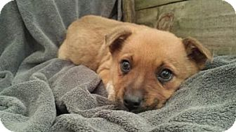 Australian Cattle Dog/Labrador Retriever Mix Puppy for adoption in Rock Hill, South Carolina - Fletcher