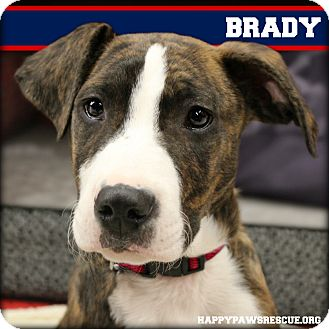 American Staffordshire Terrier/Australian Shepherd Mix Puppy for adoption in South Plainfield, New Jersey - Brady