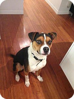 English Bulldog/Beagle Mix Dog for adoption in Hamilton, Ontario - Marshall
