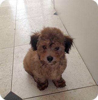 Cocker Spaniel/Poodle (Miniature) Mix Puppy for adoption in Pleasanton, California - Teddy