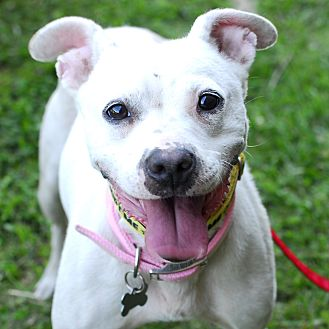Terrier (Unknown Type, Medium)/Pit Bull Terrier Mix Dog for adoption in Detroit, Michigan - Blanca
