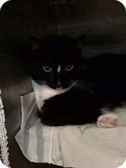 Domestic Shorthair Cat for adoption in Trevose, Pennsylvania - Zero