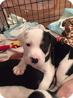 Pit Bull Terrier/Beagle Mix Puppy for adoption in Hainesville, Illinois - Buccaneer
