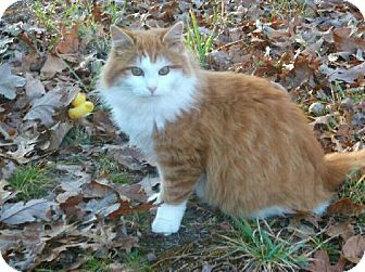Maine Coon Cat for adoption in Absecon, New Jersey - Kitty 1 Courtesy Post