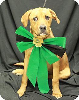 Boxer/Labrador Retriever Mix Dog for adoption in Twin Falls, Idaho - Rufus