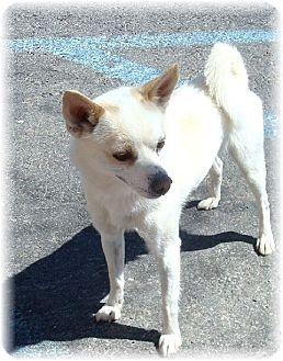 Shiba Inu Mix Dog for adoption in Las Vegas, Nevada - Goliath