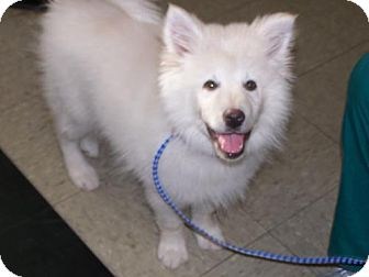 American Eskimo Dog Mix Puppy for adoption in Libertyville, Illinois - Drake