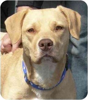 Labrador Retriever/American Pit Bull Terrier Mix Dog for adoption in Rolling Hills Estates, California - Princess