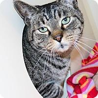 Adopt A Pet :: Tigre - Ann Arbor, MI