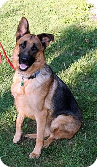 German Shepherd Dog Dog for adoption in Baltimore, Maryland - Achilles