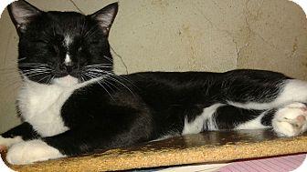 Domestic Shorthair Cat for adoption in New york, New York - OREO