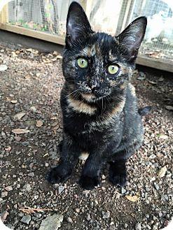Domestic Shorthair Kitten for adoption in Dublin, California - Jalapeño