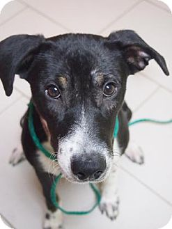 Border Collie/Jack Russell Terrier Mix Dog for adoption in Philadelphia, Pennsylvania - Maria