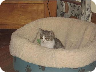 Domestic Shorthair Kitten for adoption in Newtown, Connecticut - Beeper