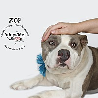 Adopt A Pet :: Zoe - Los Angeles, CA