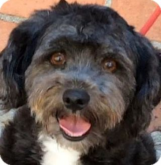 Miniature Schnauzer/Miniature Poodle Mix Dog for adoption in Los Angeles, California - BAMBI (video)