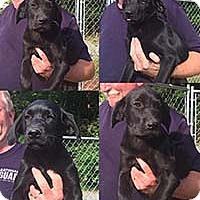 Adopt A Pet :: Black Sweeties 1 - Chantilly, VA