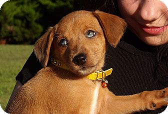 Dachshund/Spitz (Unknown Type, Small) Mix Puppy for adoption in Williamsport, Maryland - Rosey (4 lb) Blue Eyes